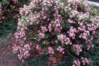 Indian hawthorn  'Spring Time'</br><em><sup>Rhaphiolepis indica  'Spring Time'</em></sup>
