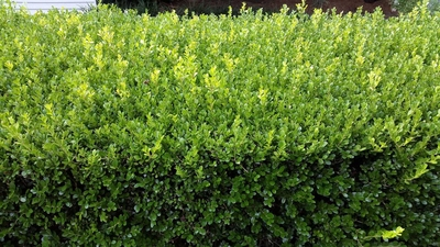 Japanese Box</br><em><sup>Buxus microphylla</em></sup>