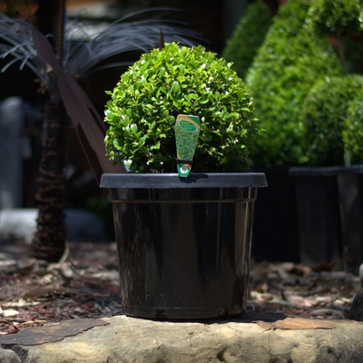 Ball Topiary - Japanese Buxus