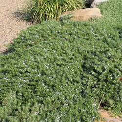 Groundcover Myoporum 140mm pot</br><em><sup>Myoporum parvifolium</em></sup>