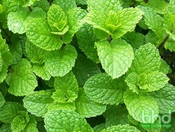 MINT COMMON 100mm pot</br><em><sup>Mentha cordifolia</em></sup>