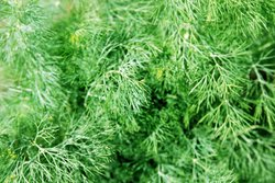 Dill 100mm pot</br><em><sup>Anthemum graveolens</em></sup>