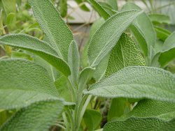 SAGE 100mm pot</br><em><sup>Salvia officinalis</em></sup>
