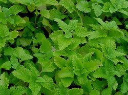 Lemon Balm 100mm pot</br><em><sup>Melissa officinalis </em></sup>