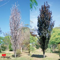 Flowering Plum - 300mm pot</br><em><sup>PRUNUS OAKVILLE CRIMSON SPIRE</em></sup>