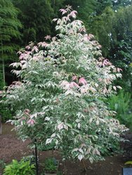 Box Elder Flamingo Maple - 300mm pot</br><em><sup>ACER NEGUNDO FLAMINGO</em></sup>