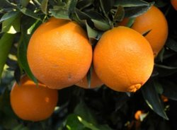 CITRUS ORANGE WASHINGTON NAVEL 7Ltr Bag