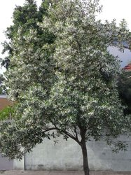 Blueberry Ash 300mm pot</br><em><sup> Elaeocarpus Reticulatus</em></sup>