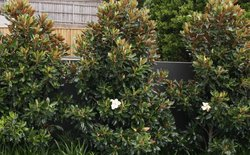 Magnolia  'Little Gem'</br><em><sup>Magnolia grandiflora 'Little Gem'</em></sup>
