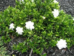 GROUND COVER Gardenia </br><em><sup>Gardenia'Radicans'</em></sup>
