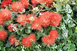 New Zealand Christmas Bush</br><em><sup>Metrosideros thomasii </em></sup>
