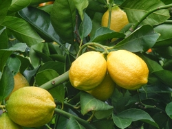 CITRUS DWARF EUREKA LEMON 7LTR BAG