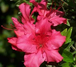 Azaleas - Many Varieties Available